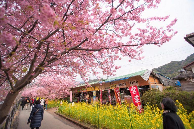 Kawazu Cherry Blossom – ពិធីបុណ្យផ្កាសាគូរ៉ារីកឆ្នាំ ២០២០